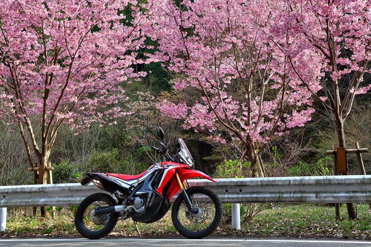 CRF250rallyと桜