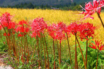 lycoris-radiata-2014-09-26-04.jpg