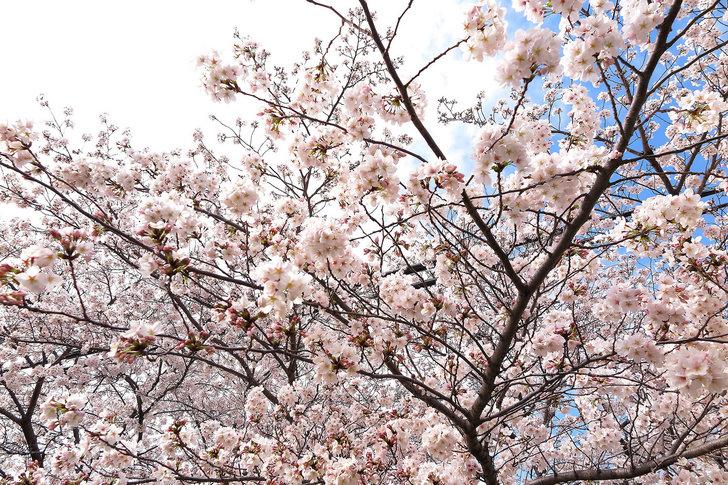 sakura-2015-04-02.jpg
