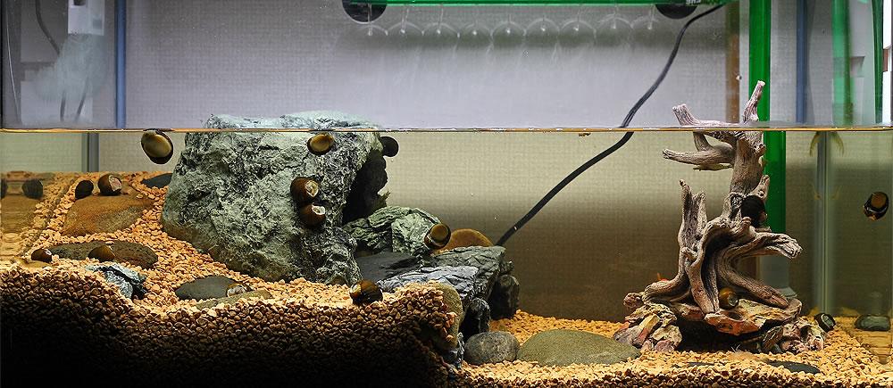 水槽 クサガメ